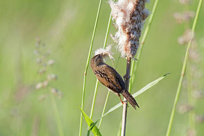 Baby Bird Photograph - Wa, Juanita Bay Wetland, Marsh Wren by Jamie and Judy Wild