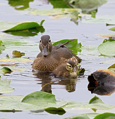 Baby Bird Photograph - Wa, Juanita Bay Wetland, Wood Ducks by Jamie and Judy Wild