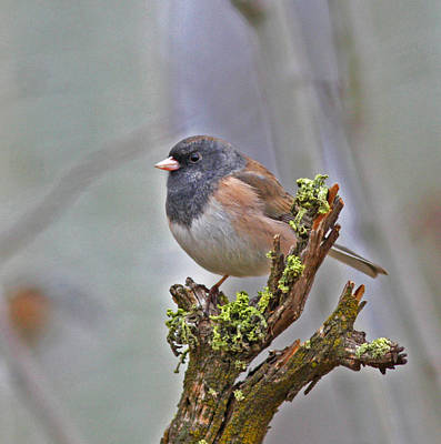 Junco Photograph - Waiting by Gary Wing