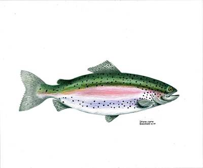 Trout Stream Drawing - Wallace Brantley Sport Fishing Series Rainbow Trout by Sharon Blanchard