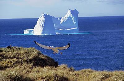 Wandering Albatross (diomendea Exulans Art Print