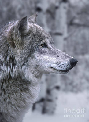Wolf Art Photograph - Watching And Waiting by Sandra Bronstein