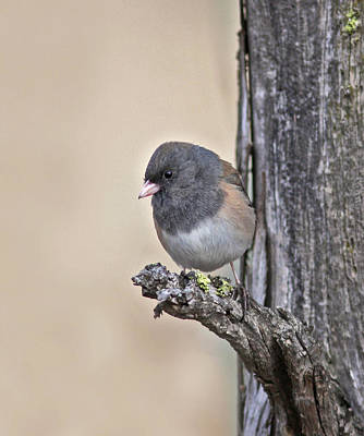 Dark-eyed Junco Photograph - Watching by Gary Wing