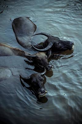 Photograph - Water Buffalos by Soren Egeberg