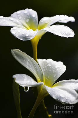 Suspended Photograph - Water Droplet On Frangipani Flower by Jorgo Photography - Wall Art Gallery