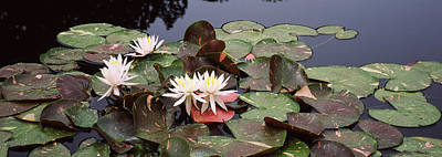 Lily Pads Photograph - Water Lilies In A Pond, Sunken Garden by Panoramic Images