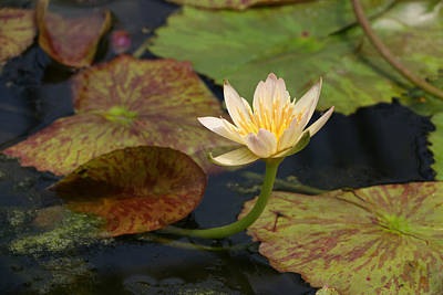 Photograph - Water Lily 25 by Allen Beatty