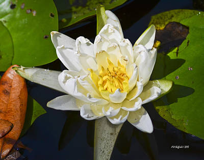 Photograph - Water Lily Bloom by Allen Sheffield