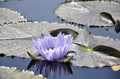 Water Lily Art Print by Dottie Branchreeves