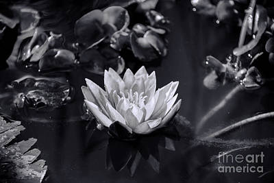 Sun Photograph - Water Lily  by Gry Thunes