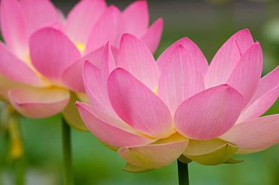 Photograph - Water Lotus by Byron Jorjorian