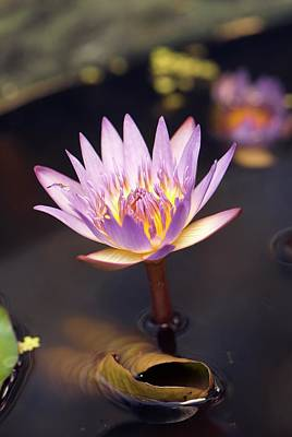 Waterlily (nymphaea Capensis) Flower Art Print by Adrian Thomas