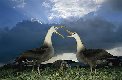 Waved Albatross Courtship Dance Art Print by Tui De Roy