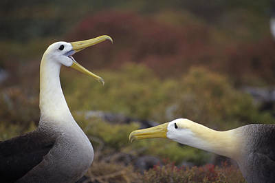 Waved Albatross Courtship Display Art Print by Tui De Roy