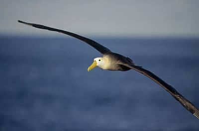 Waved Albatross Flying Galapagos Islands Art Print by Tui De Roy