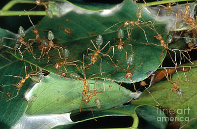 Ant Photograph - Weaver Ants by Gregory G. Dimijian, M.D.