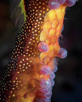 Photograph - Weedy Sea Dragon With Eggs, Tasmania by Brandi Mueller