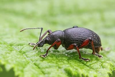 Rodney Photograph - Weevil by Heath Mcdonald