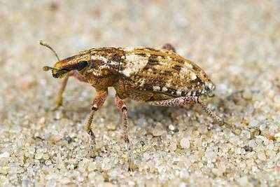 Weevil On Sand Art Print by Science Photo Library