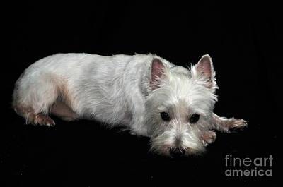 West Highland Terrier I Art Print by Catherine Reusch Daley