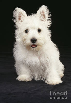 Westie Puppies Photograph - West Highland White Terrier by John Daniels