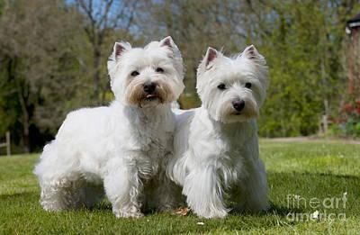 Best Friend Photograph - West Highland White Terriers by John Daniels