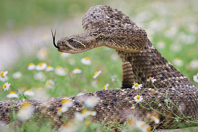 Diamondback Photograph - Western Diamondback Rattlesnake by Larry Ditto