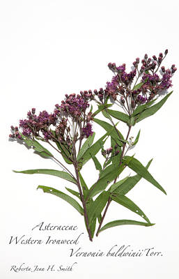 Photograph - Western Ironweed by Roberta Jean Smith