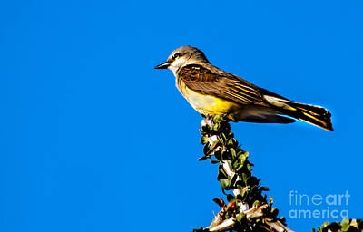 Western Kingbird Art Print by Robert Bales