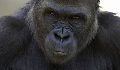 Western Lowland Gorilla Portrait Art Print by San Diego Zoo