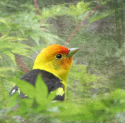 Photograph - Western Tanager by Angie Vogel