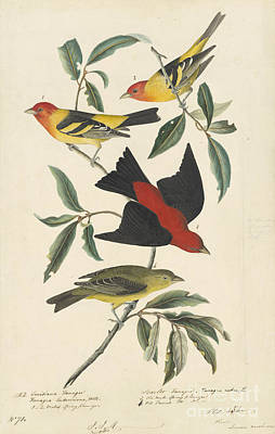 Ornithology Drawing - Western Tanager by Celestial Images