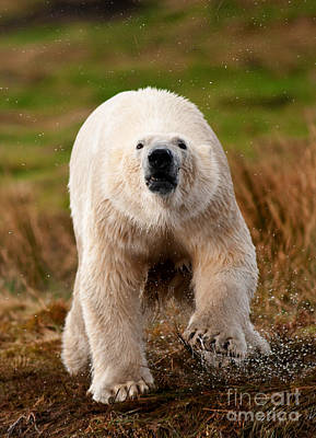 Photograph - Wet Polar Bear Running by Mark Bowler