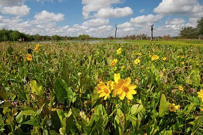 Texas Sunflower Photograph - Wetland Sunflowers And Emergent Aquatic by Larry Ditto