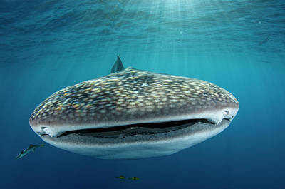 Whale Shark Photograph - Whale Shark, Cenderawasih Bay, West by Pete Oxford