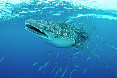 Whale Shark Swimming With Mouth Open Art Print by Mathieu Meur