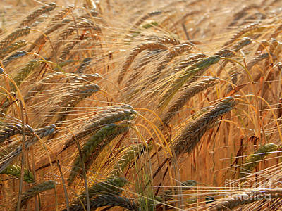 Photograph - Wheat by A K Dayton