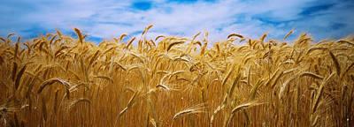 Wheat Crop Growing In A Field, Palouse Art Print