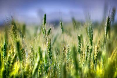 Photograph - Wheat Field by Brad Grove
