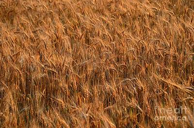 Photograph - Wheat by Randy J Heath