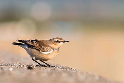 Small Birds Photograph - Wheatear by Ian Hufton