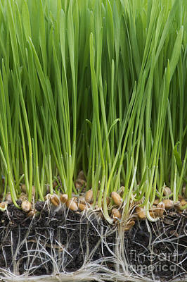 Health Food Photograph - Wheatgrass by Tim Gainey