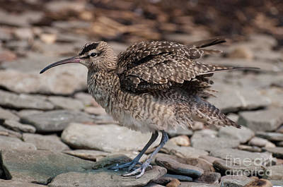 Photograph - Whimbrel by Bianca Nadeau
