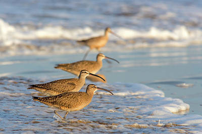 Animal Behavior Photograph - Whimbrel Shorebirds (numenius Phaeopus by Chuck Haney