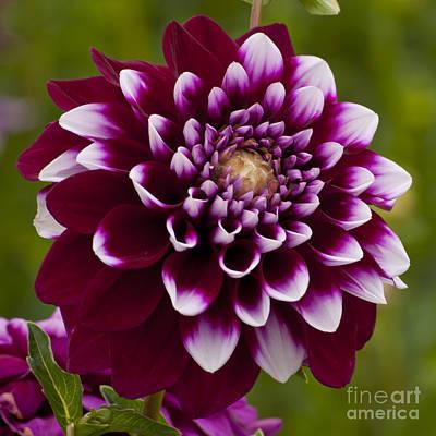 White And Purple Dahlia Art Print by Mandy Judson
