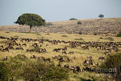 Blue Fig Photograph - White-bearded Wildebeest Migration by Greg Dimijian