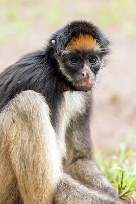 White-bellied Spider Monkey Art Print by Dr Morley Read