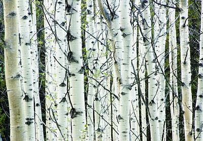 Canada Photograph - White Birch Tree Forest by Oscar Gutierrez