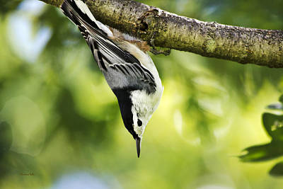 Photograph - White-breasted Nuthatch by Christina Rollo