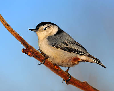 Photograph - White-breasted Nuthatch by Tony Beck